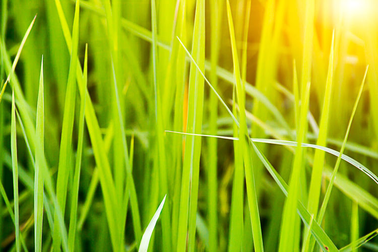 Agriculture Backgrounds Beauty In Nature Cereal Plant Close-up Crop  Day Field Freshness Full Frame Grass Green Color Growth Nature No People Outdoors Plant Wheat