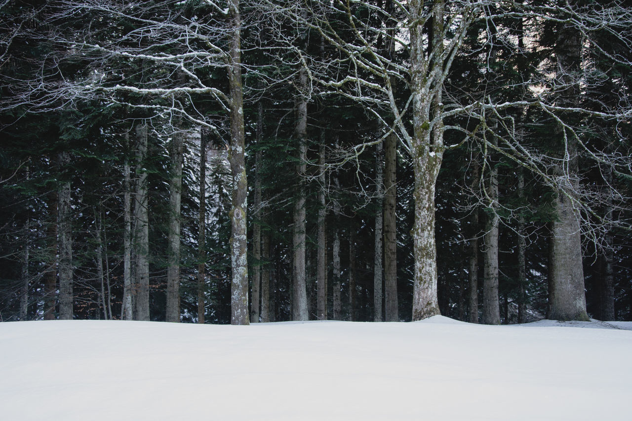 tree, snow, cold temperature, winter, plant, forest, land, tranquility, beauty in nature, woodland, nature, no people, trunk, tranquil scene, tree trunk, non-urban scene, covering, growth, white color, snowing