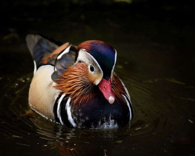 Animal Themes Animal Animal Wildlife Mandarin Duck Bird Duck One Animal Day Nature Water Bird Multi Colored Close-up No People Lake Poultry Swimming Water Vertebrate Animals In The Wild