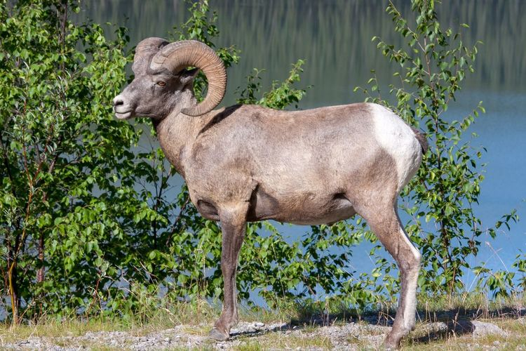Bighorn Ram near Jasper, Canada Big Horn Sheep Canadian Rockies  EyeEm Selects Mammal Animal Themes One Animal Day Nature Standing Outdoors No People Full Length