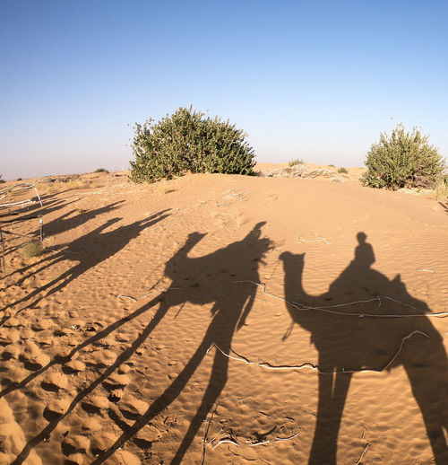 Desert India Sheepherd Travel Camel Desert Jaisalmer Nature Obrigado Outdoors Rajasthan Sand Sand Dune Shadow Sheep Sky Sunset Thar Desert