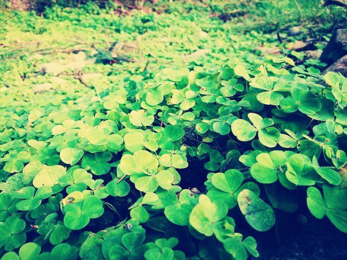 Cloverfield Clover Field Lush Foliage