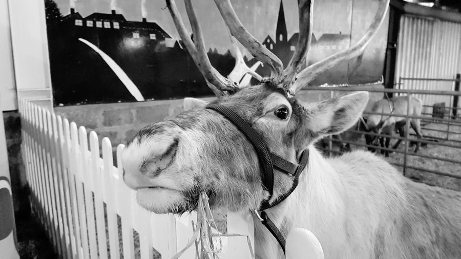 The Reindeer Centre Christmas 2017 2017 2017 Year 2017 Photo Travel Travel Photography Travelphotography Travel And Tourism Travel And Leisure Travel And Photography United Kingdom England, UK Kent England Kent UK Great Britain Uk England Reindeer Reindeers Blackandwhite Black And White Black & White Blackandwhite Photography Black And White Photography Animal Themes Mammal One Animal Domestic Animals No People Close-up Outdoors Day