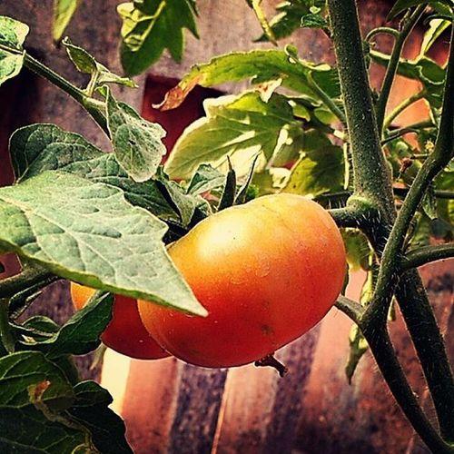 Freshoffthetree Tomatoes Gardening Freshvegetables