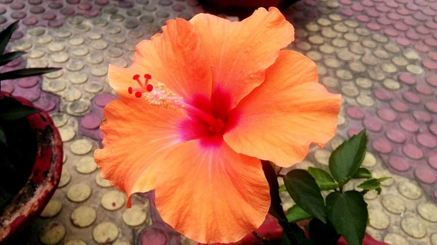 That morning flower Flowers Hibiscus Assam India