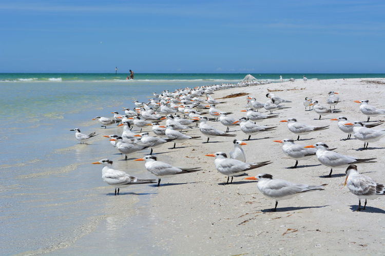 Seagulls on the shore in Sarasota beach (Tampa Bay, Florida) Beach Beauty In Nature Landscapes With WhiteWall Natural Beauty Nature Fine Art Photography Nature Photography Nature_collection Sand Sarasota Florida Sea Sea And Sky Sea View Sea_collection Blue Wave Seagulls Seagulls And Sea Seascape Shore Sky Water Water_collection Birds Water Nature Wildlife Birds Facing Wind New Perspectives Finding New Frontiers Miles Away