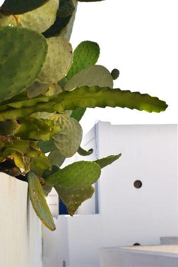 cactuses in the village of the volcano -island Stromboli Cactus Cactus Garden Flower Flower Head Mediterranean  Mediterranean Sea Nature Plant Stromboli Stromboli Volcano White Houses White Street