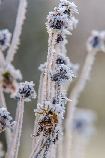 Rim Nature Growth Close-up Beauty In Nature Winter No People Cold Temperature Fragility Outdoors Plant Day Snow Freshness