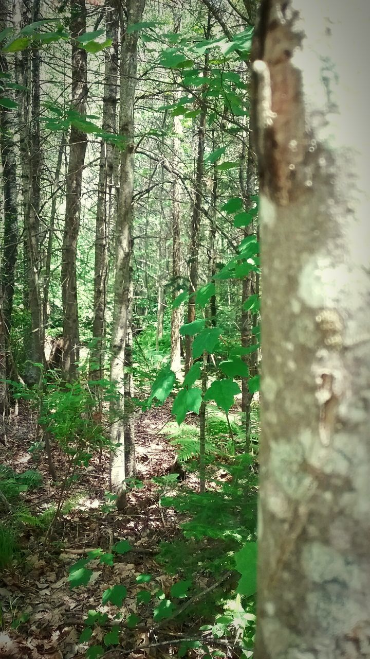 tree trunk, tree, forest, nature, day, growth, outdoors, green color, no people, tranquility, beauty in nature