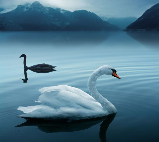 Nature Flamingo Water Swimming Water Bird Reflection Animal Themes Sea Bird Seagull Freshwater Bird Pelican Black Swan Penguin Standing Water Perching Mute Swan Migrating Spread Wings Snow Covered Black-headed Gull Snowcapped Mountain Swimming Animal Snowcapped Beak Tranquil Scene Flock Of Birds Avian