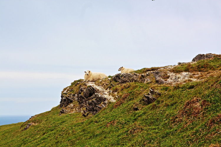 Sheep Relaxing On Hill Against Clear Sky