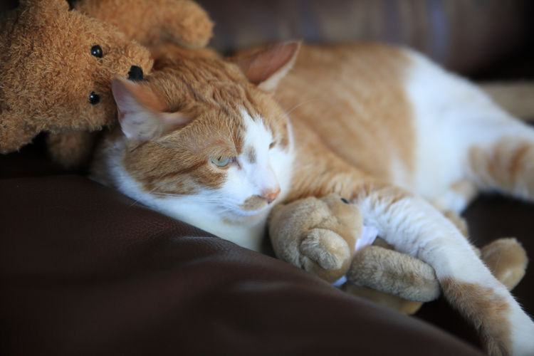 Cat cuddled up with teddy bears Close-up Comfortable Cuddling Cute Domestic Cat Feline Furry Ginger Cat Happy Place Indoors  Indoors  Mammal No People One Animal Orange And White Cat Pets Relaxation Resting Sofa Soft Stuffed Animals Teddy Bears Text Space Textures