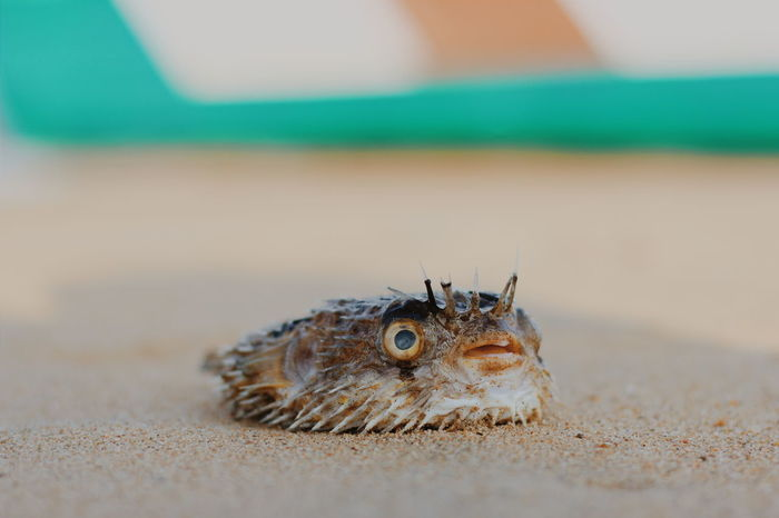 Puffer fish offshore Puffer Fish Pufferfish Offshore Out Of The House DEAD FISH Ocean Shores Sea Photography No People Porcupine Porcupine Fish Diodontidae Blowfish Balloonfish Globefish Inflated Sea Creature Fish Eyeemphotography Eyeem Fish Eyeemindia Eyeem India Out Of The Sea