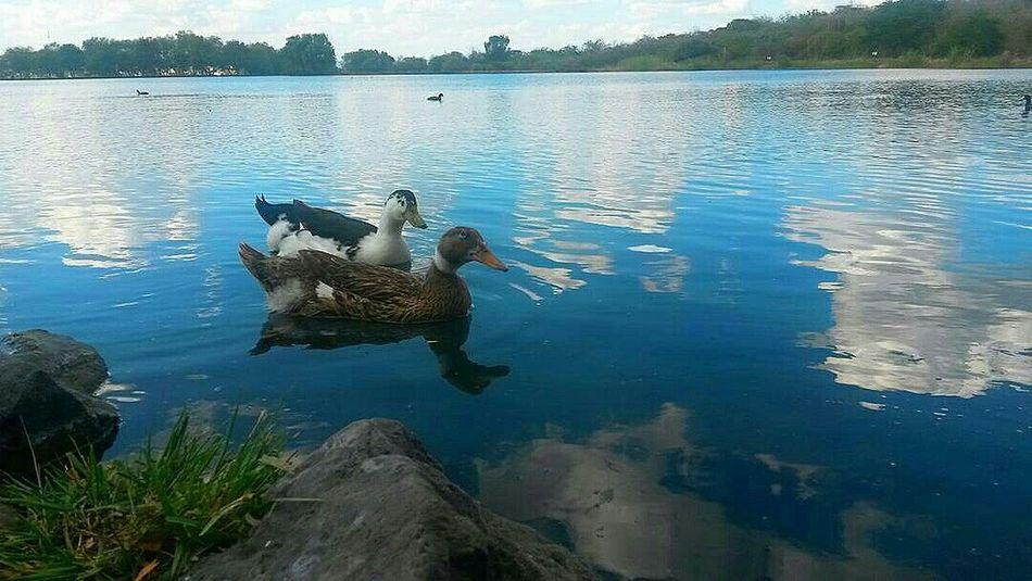 Lake Water Outdoors Animals In The Wild Animal Wildlife Nature Beauty In Nature Naturaleza Patos Ducks Ducks At The Lake