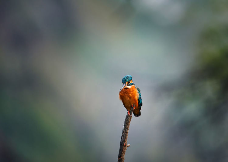 A common kingfisher perching on the branch