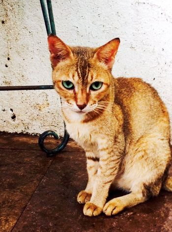 Green Eyes Looking At Camera Cat Cat Posing One Animal Whisker No People Mumbai Indian India