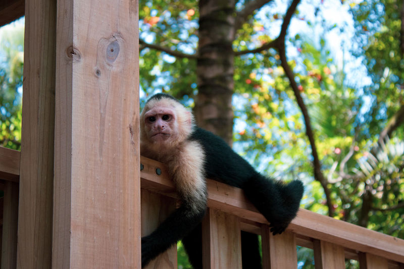 Portrait of monkey lying on railing
