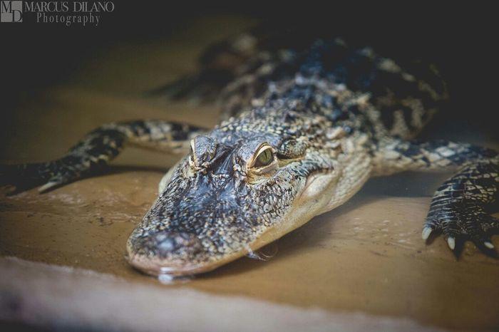 The Staredown Amimals Crocodile Hershey Park Alligator Reptiles