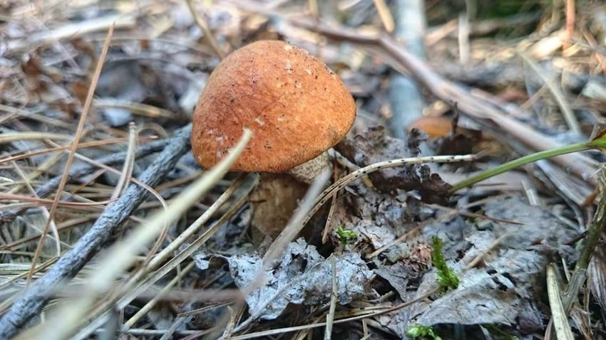 Algonquin Park Forest Floor Fungus Canada Ontario, Canada Ontario