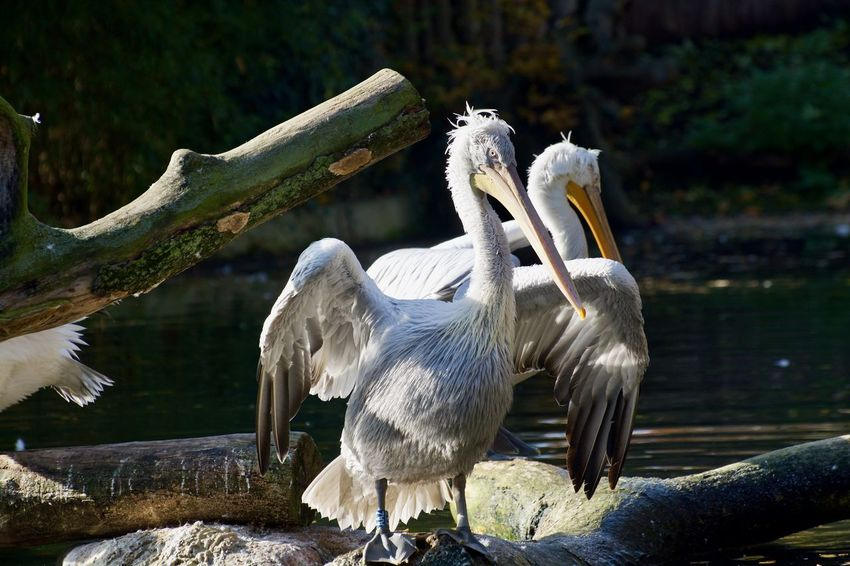 Animals In The Wild Animal Animal Photography Animal Themes Animal Wildlife Animals Animals In The Wild Beak Bird Day Focus On Foreground Group Of Animals Lake Nature No People Outdoors Pelican Three Animals Tree Vertebrate Water White Color