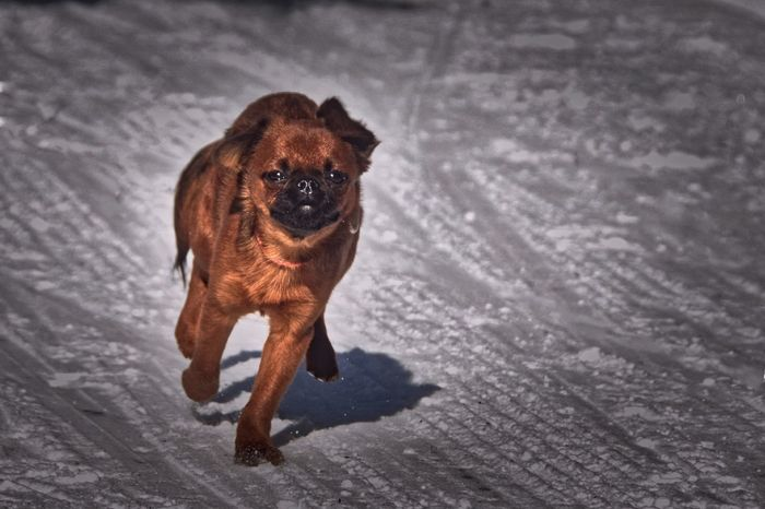 My Dog Lightroom Winter Snow Griffon Brabacon EyeEm Best Shots EyeEm Nature Lover Edit Lights Fast Bosslife