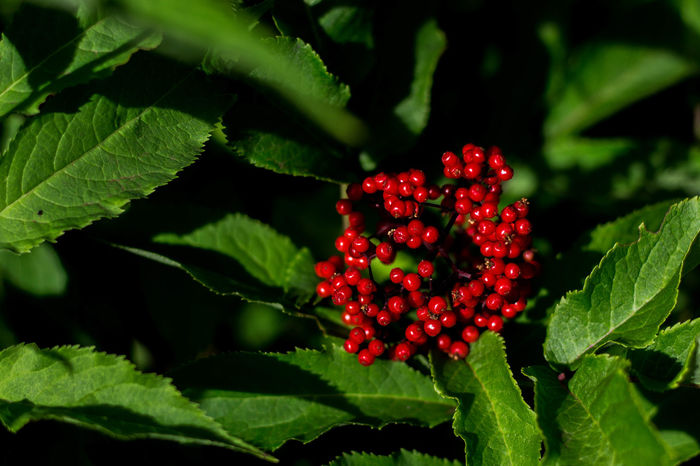 Close up of berry bush Beauty In Nature Berry Close-up Contrast Day Food Food And Drink Freshness Fruit Green Color Growth Leaf Nature No People Outdoors Plant Red Shrub