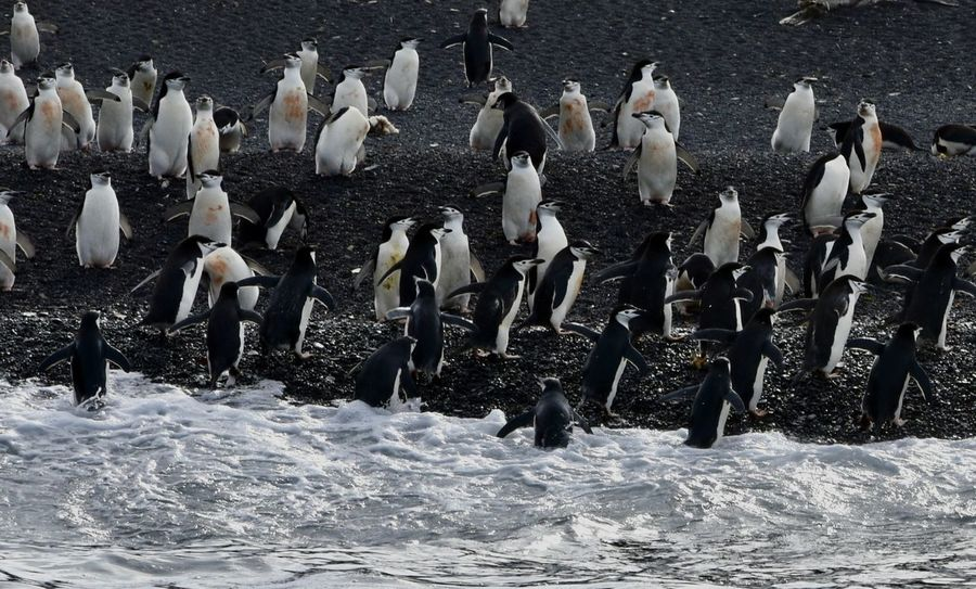 Animal Themes Animals In The Wild Antarctic Antarctic Peninsula Antarctica Chinstrap Penguin Penguin Penguin Diving Penguins Penguins In Water Polar  Polar Climate Swimming Penguin Water