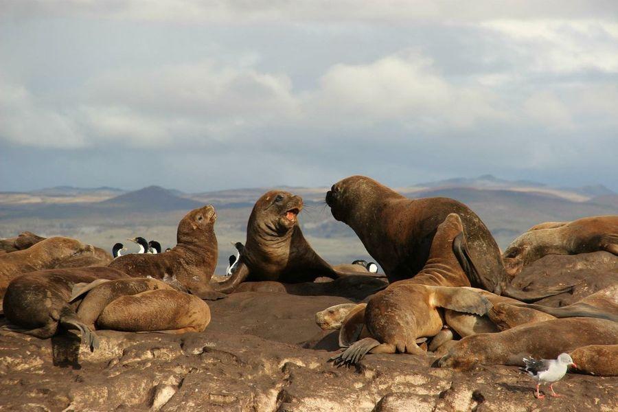 Sealion  Seal Sealions Seals Seelöwe Natgeo Natur Nature Wildlife Argentina Argentinien Tierradelfuego Ushuaïa Feuerland Patagonien Southamerica South America Südamerika