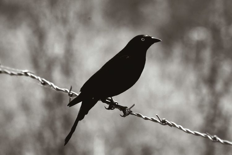 black bird Barbed Wire Bird Blackandwhite Black Bird Eye Creepy Outdoors Animal Themes Bird Animal Animal Wildlife Animals In The Wild One Animal No People Black Color Perching Nature Focus On Foreground Outdoors Day Fence
