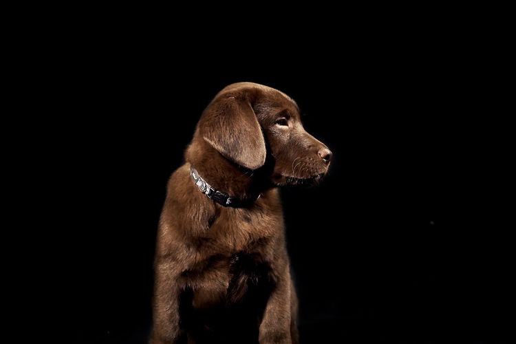 Chocolate labrador over black background