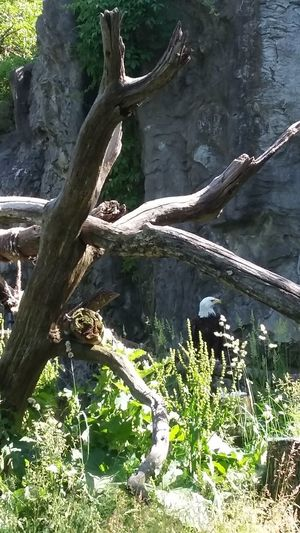 Bald Eagle Eagle Park Beauty In NatureParklife Outdoor Life Nature Birdlife🕊 Roger Williams Park Zoo Birds🐦⛅