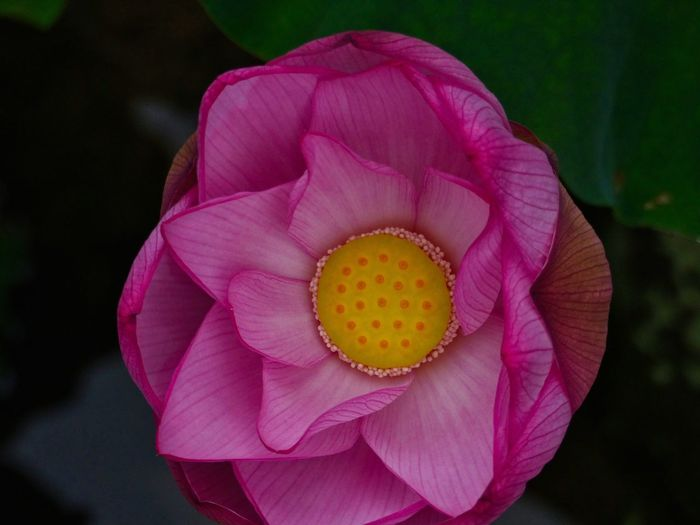 From above the lotus Lotus Lotus Flower Japan Photography Flower Flowering Plant Petal Inflorescence Beauty In Nature Flower Head Plant Pink Color Close-up Lotus Water Lily