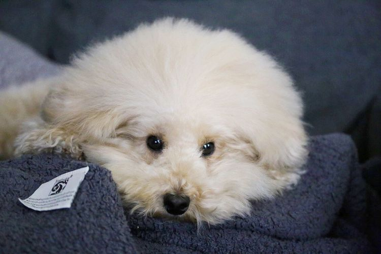 DogLove Pet Poodle Love Dogs I Love My Dog Dog My Toypoodle Toypoodle Cute Pets Cutedogs