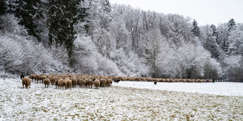 View of sheep on snow covered field