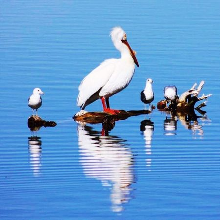 Reflections Animals In The Wild Water Bird Animal Themes Reflection Animal Wildlife Lake Waterfront Nature Day No People Beauty In Nature Outdoors Perching Pelican Reflection Blue Water Ripples The Great Outdoors - 2017 EyeEm Awards EyeEmNewHere