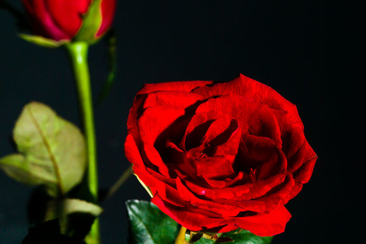 Close-up of red rose against black background