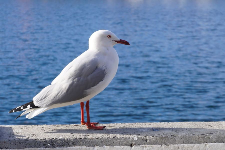 Sea Gulls Bird One Animal Animals In The Wild Animal Themes Animal Wildlife Day Perching White Color Sea Focus On Foreground Water Nature Seagull No People Outdoors Beauty In Nature Close-up Tasmania Hobart