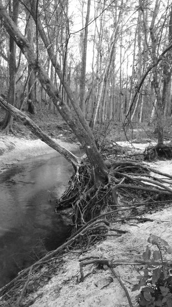 Hang in there Trees Roots Creek Sand Sandy Woods Florida Nature Landscape Blackandwhite Bnw Nature_collection Landscape_Collection Hanging Tree_collection  Tree Roots  Erosion The Great Outdoors With Adobe