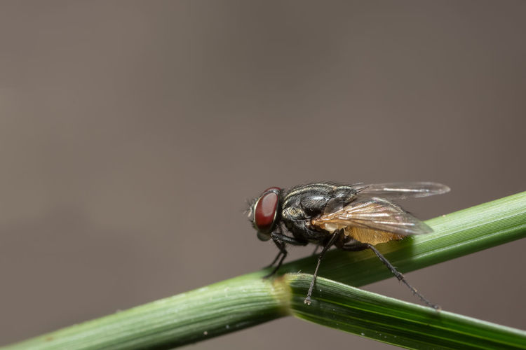 Close-Up Of Housefly On Plant Stem