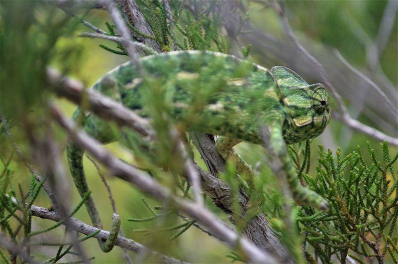 Chameleon Eye Chameleon Green Beautiful Chameleon Chameleon Eating Chameleon On A Tree Chameleon Spirit Chameleon_collection Chameleons