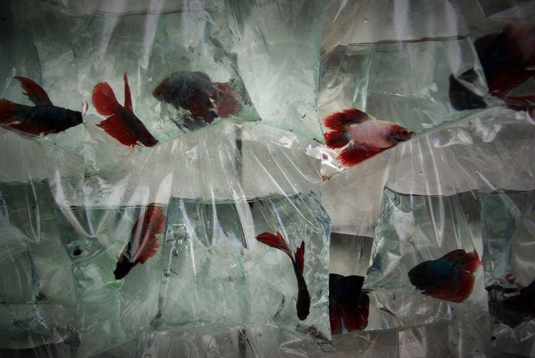 Fish swimming in plastic bags in store