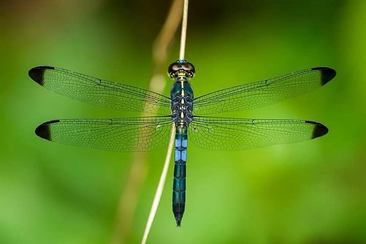 Damselfly Splashing Droplet Spread Wings Insect Perching Leaf Animal Themes Close-up Dragonfly Fly