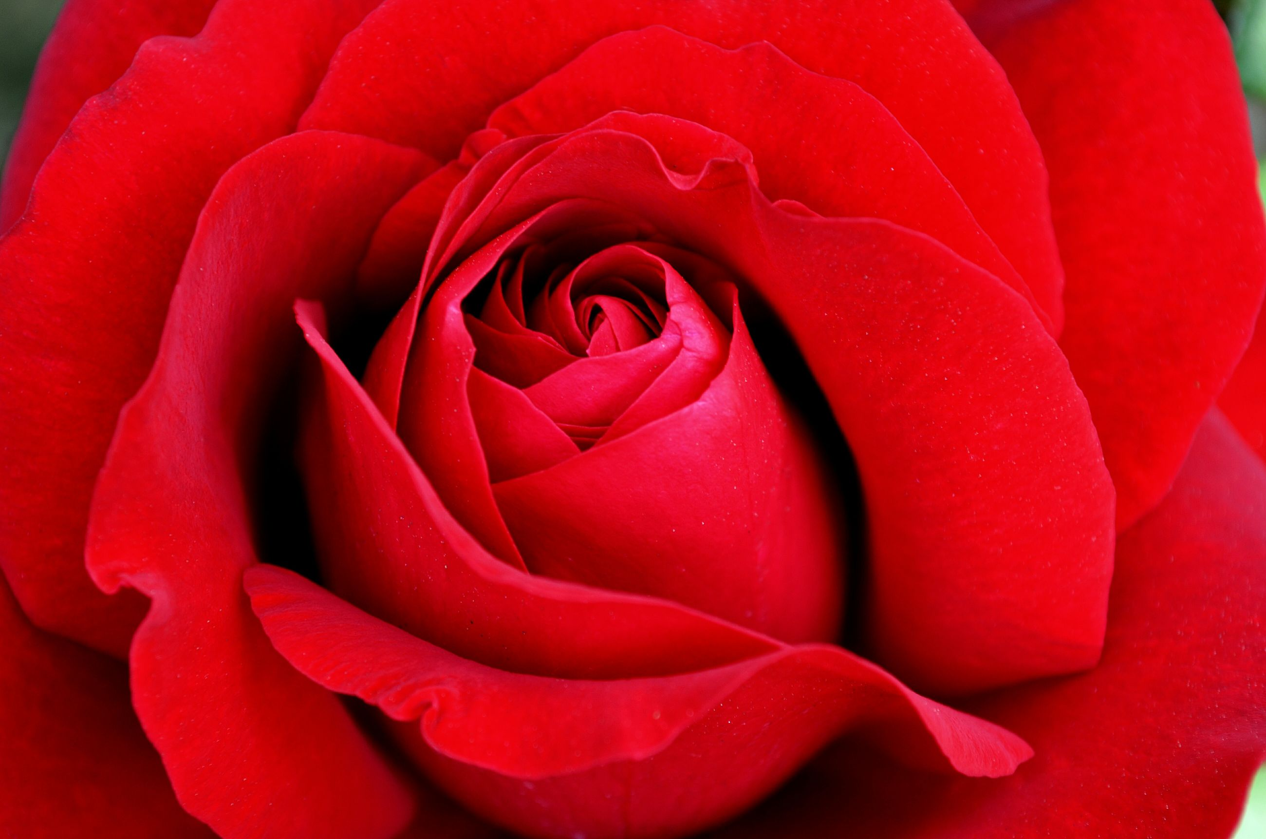 flower, petal, flower head, rose - flower, freshness, fragility, beauty in nature, single flower, red, rose, close-up, growth, single rose, nature, blooming, pink color, natural pattern, in bloom, backgrounds, macro