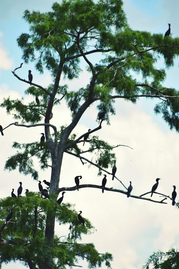 Flock in a tree Spanish Moss Greenery Scenery Lakeshore No People Serene Outdoors South Louisiana Greenery Daylight Taking Photos Birds Bird Watching Birds On Branches Clouds And Sky