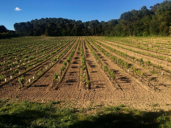 Vineyard Vineyard Cultivation Wine Agriculture Field Landscape Growth Nature Tranquility Tree Beauty In Nature Rural Scene Clear Sky Sky Scenics No People Outdoors Day