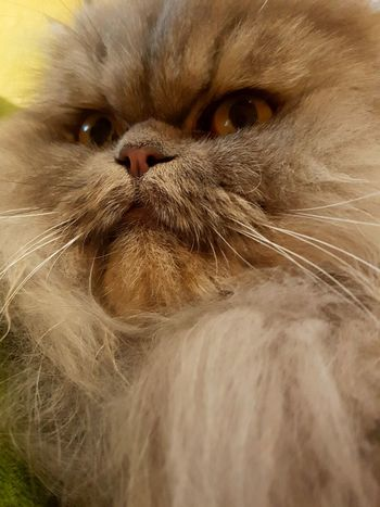 Chewbacca.....😂😂😂.... stars wars pet Domestic Cat Domestic Animals Pets Animal Themes Mammal One Animal Feline Close-up Animal Head  No People Whisker Animal Body Part Portrait Persian Cat  Indoors  Day