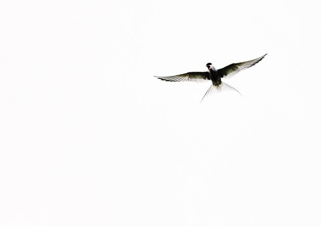 •Arctic tern• Flying Animal Themes Bird One Animal Animals In The Wild Wildlife Copy Space Spread Wings Clear Sky White Background Zoology Studio Shot Nature Flight No People Iceland Exceptional Photographs Tadaa Community