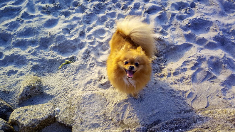 Pomeranian Perro Dog Beach Playa Sand Arena Brown Animal 43GoldenMoments Taking Photos Enjoying Life Relaxing Paseo Pet Mascota