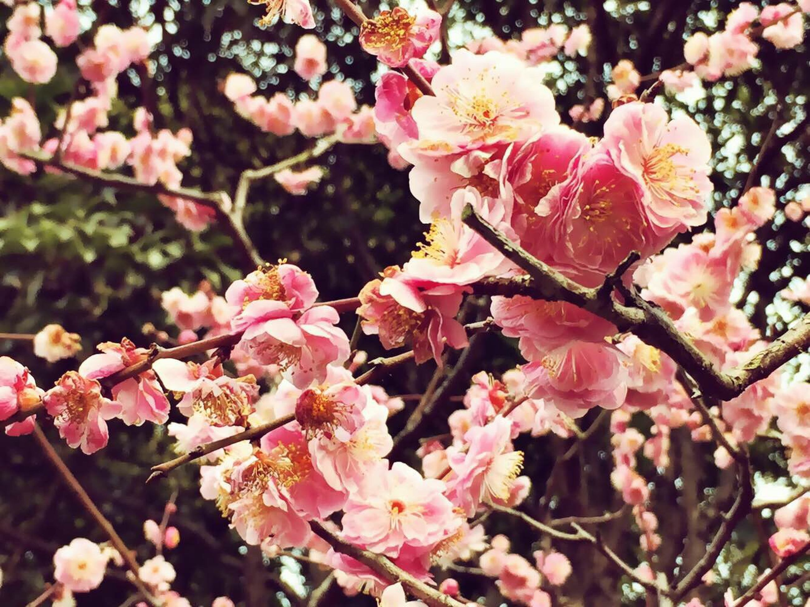 flower, freshness, growth, branch, pink color, fragility, beauty in nature, tree, nature, focus on foreground, petal, close-up, blossom, cherry tree, cherry blossom, blooming, springtime, twig, in bloom, outdoors