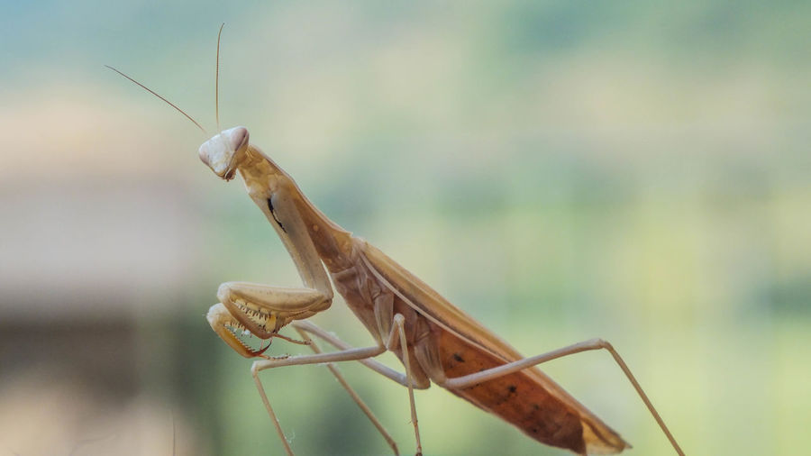 Animal Eye Animal Themes Animal Wildlife Animals In The Wild Close-up Day Focus On Foreground Grasshopper Insect Mantis, Praying Mantis, Guava Farm,easrjava Nature No People One Animal Outdoors Praying Mantis Praying Mantis Macro Selective Focus